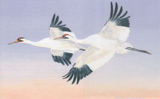 H-54  Whooping Cranes