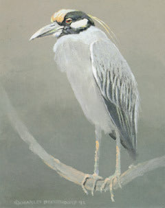 V-71 Yellow-Crowned Night Heron