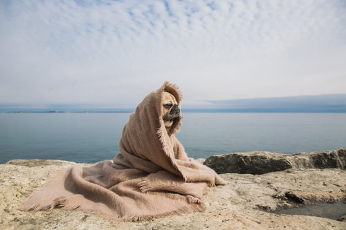 cute pug in a blanket by water
