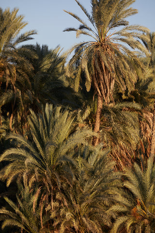 Palms, The Nile, Egypt