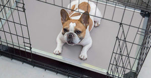 a small, brown and white dog lying on a chew proof cot dog bed inside a crate