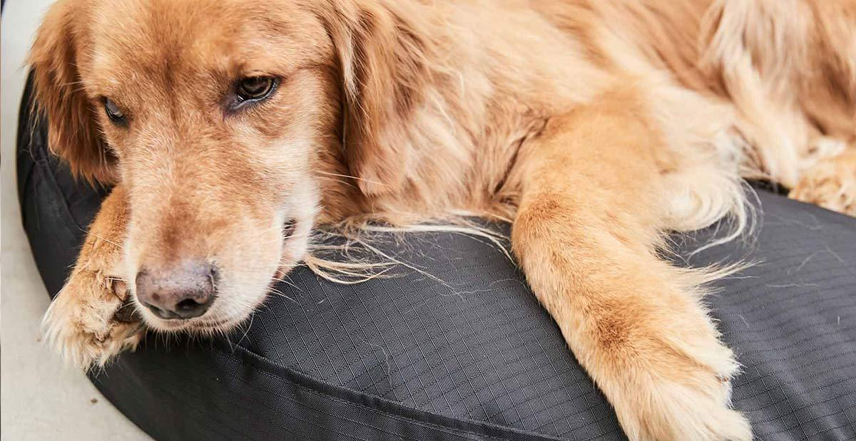 a close up of a golden retriever lying on a round, black, nesting dog bed