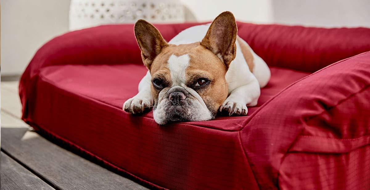 a small white and brown dog lying on a red bolstered orthopedic bed looking at the camera
