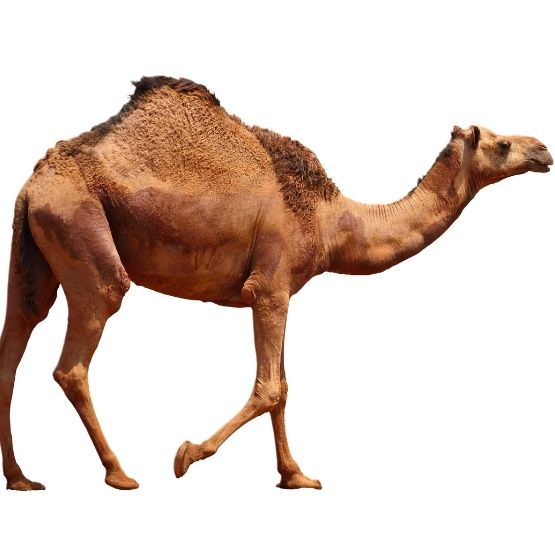 Image of the magnificent Australian feral camel.