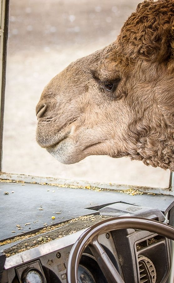 Funny image of a camel driving a car