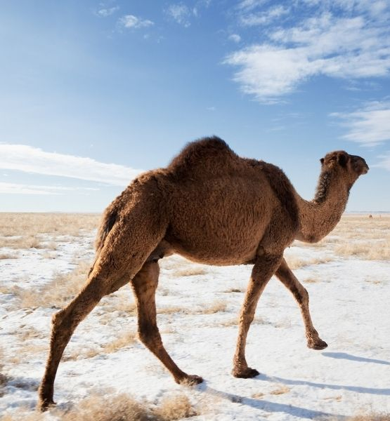 Picture of an Australian camel in the snow