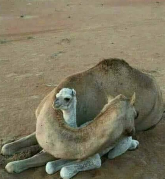 Picture showing a female camel protecting her calf