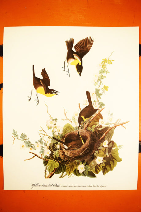 Yellow Breasted Chat Print - Audubon Folio Collection - Icteria Veridis - 17