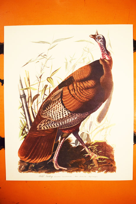 Wild Turkey Print - Audubon Folio Collection - Mealeagris Gallopavo - 17
