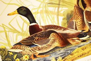 "Mallard Duck Print - Audubon Folio Collection - Anas Boschas - 17""x14"" Sheet - 100% Original - 1950s - Vintage Bird Prints - Animal Art"