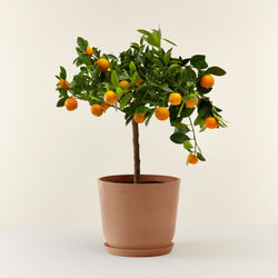 Calamondin - oranger d'appartement
