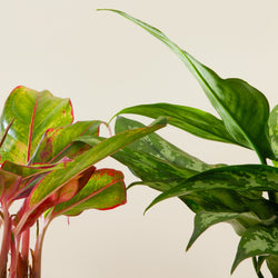 Duo Aglaonema