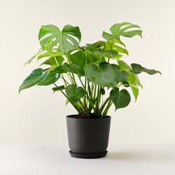 Philodendron  Monstera Deliciosa