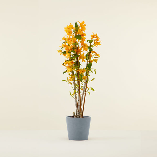 Orchidée Bambou orange