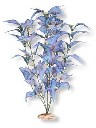 Large Size Flowering Broad Leaf Cluster Blue and Blue