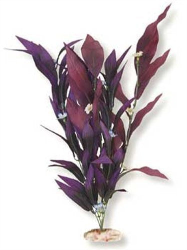 Extra-Large Size African Sword Plant With Flowers Deep Plum
