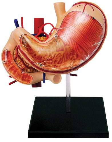 Human Anatomy - Stomach & Other Organs