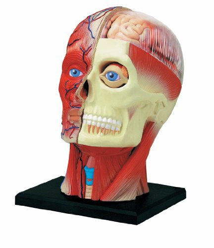 Human Anatomy - Human Head Model