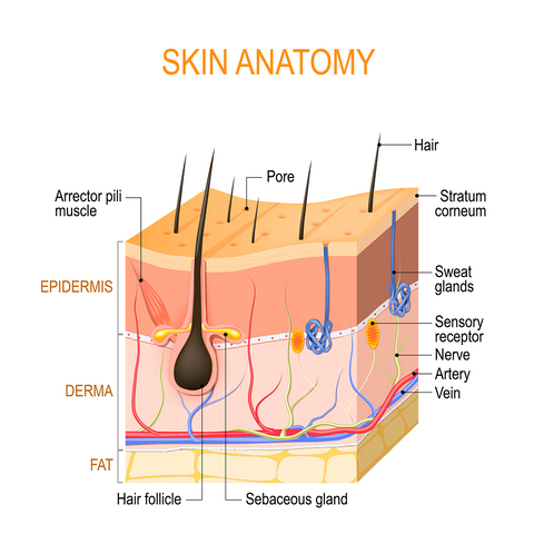 Skin structure diagram illustration with labelled parts of skin anatomy