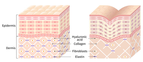 illustration of young skin compared to older skin
