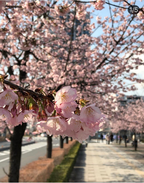 Bloomin' Gorgeous - Sakura season in Japan