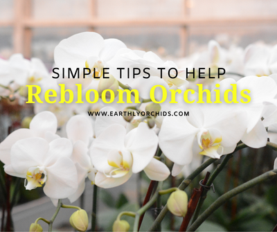 Simple Tips to help REBLOOM ORCHIDS