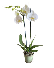 Buy orchids online, wide selection of orchid species. Earthly Orchids have a wide variety of orchid plants and orchid flowers for you to choose from, we have live potted orchid plants and fresh cut orchids. Our orchids are hand grown and well taken cared for so orchids are large, waxy and strong. Order orchids now, orchids are perfect gift for all occasions and perfect for your home! We deliver live orchids anywhere in the US. We have wholesale orchids and retail orchids.