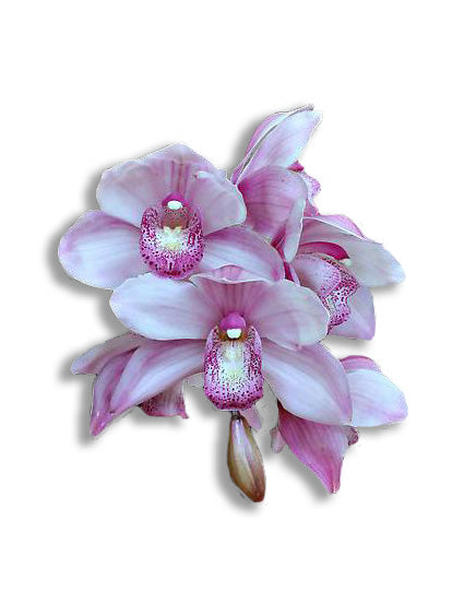 orchid delivery, orchids for sale, orchids online, orchids, orchid, flower, orchid flower, orchid plant, potted plant, potted orchids, cut orchids. flower plant, earthly orchids, orchid bouquet, flower bouquet, flower delivery, flower online, wholesale orchids, wholesale flowers, retail orchids, retail flowers, pink orchids, pink flowers