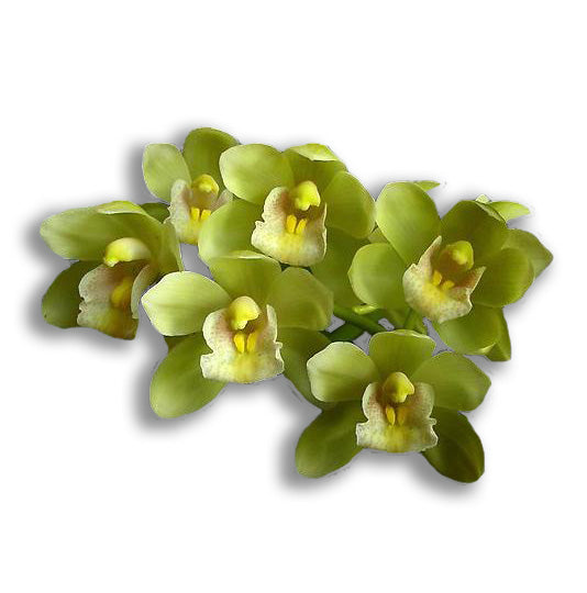 orchid delivery, orchids for sale, orchids online, orchids, orchid, flower, orchid flower, orchid plant, potted plant, potted orchids, cut orchids. flower plant, earthly orchids, orchid bouquet, flower bouquet, flower delivery, flower online, wholesale orchids, wholesale flowers, retail orchids, retail flowers