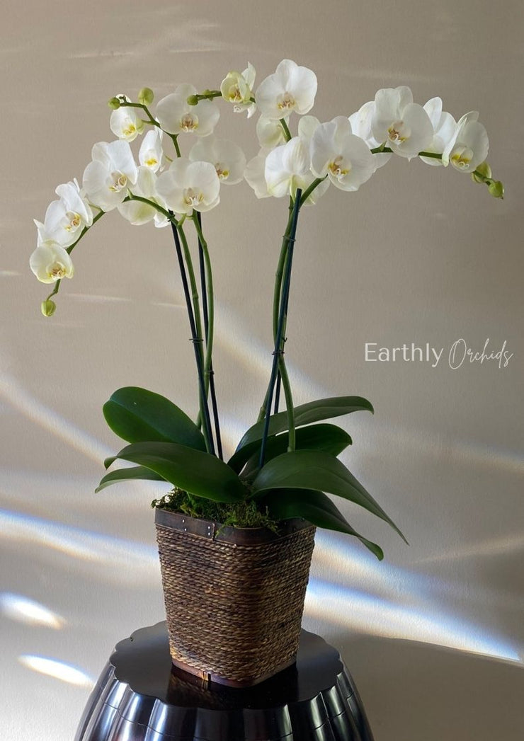 Basket Arranged Orchids - Snow Queen Medium by Earthly Orchids