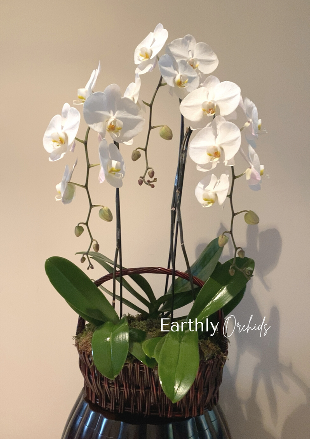 Basket Arranged Orchids - Chandelier by Earthly Orchids