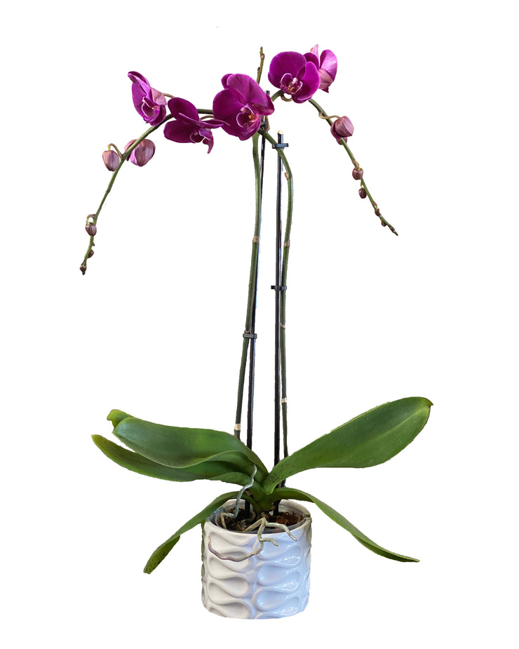 Buy orchids online, a wide selection of orchid species. Earthly Orchids have a wide variety of orchid plants and orchid flowers for you to choose from, we have live potted orchid plants and fresh-cut orchids. Our orchids are hand-grown and well-taken care for so orchids are large, waxy, and strong. Order orchids now, orchids are the perfect gifts for all occasions and perfect for your home! We deliver live orchids anywhere in the US. We have wholesale orchids and retail orchids.