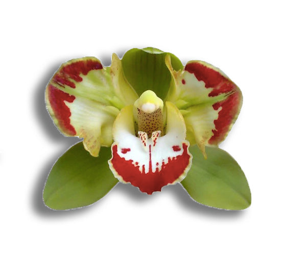 orchids, orchid, flower, orchid flower, orchid plant, potted plant, potted orchids, cut orchids. flower plant, earthly orchids, orchid bouquet, flower bouquet, flower delivery, flower online, premium orchid, live orchid, orchid online, quality orchids, orchids for sale