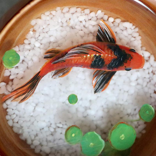 Black & Red Koi in Wooden Bowl