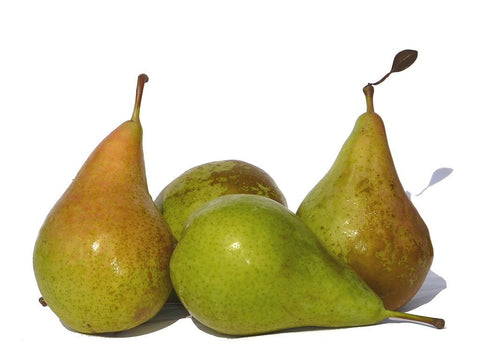 Image of PYRUS COMMUNIS - CONFERENCE PEAR 25 VIABLE SEEDS