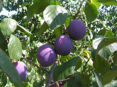 PEAR, PEACH, PLUM AND CHERRY TREE - 63 SEEDS