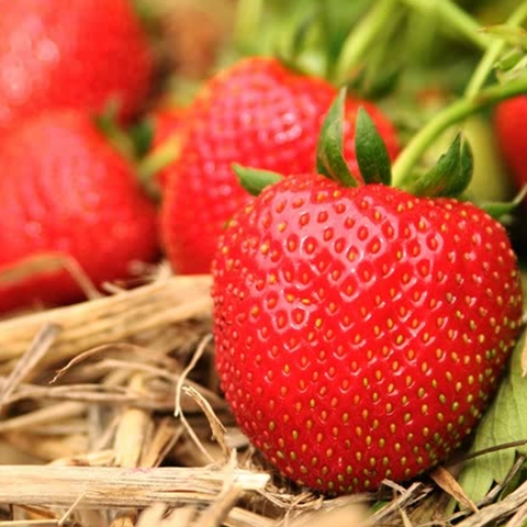Image of Strawberry 'Marshmello' Fast Growing Bare Root Garden Fruit Plant