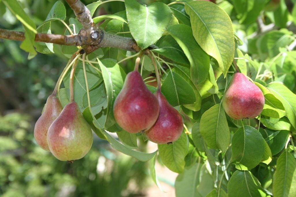 PRUNUS ST. JULIEN - PURPLE PLUM -5 VIABLE SEEDS.