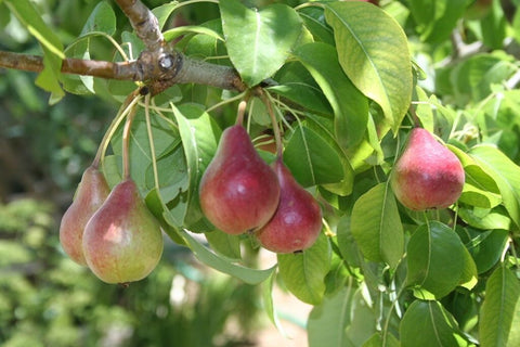 Image of PRUNUS ST. JULIEN - PURPLE PLUM -5 VIABLE SEEDS.
