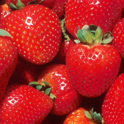 Image of Strawberry 'Marshmello' Fast Growing Bare Root Garden Bush Fruit Plants