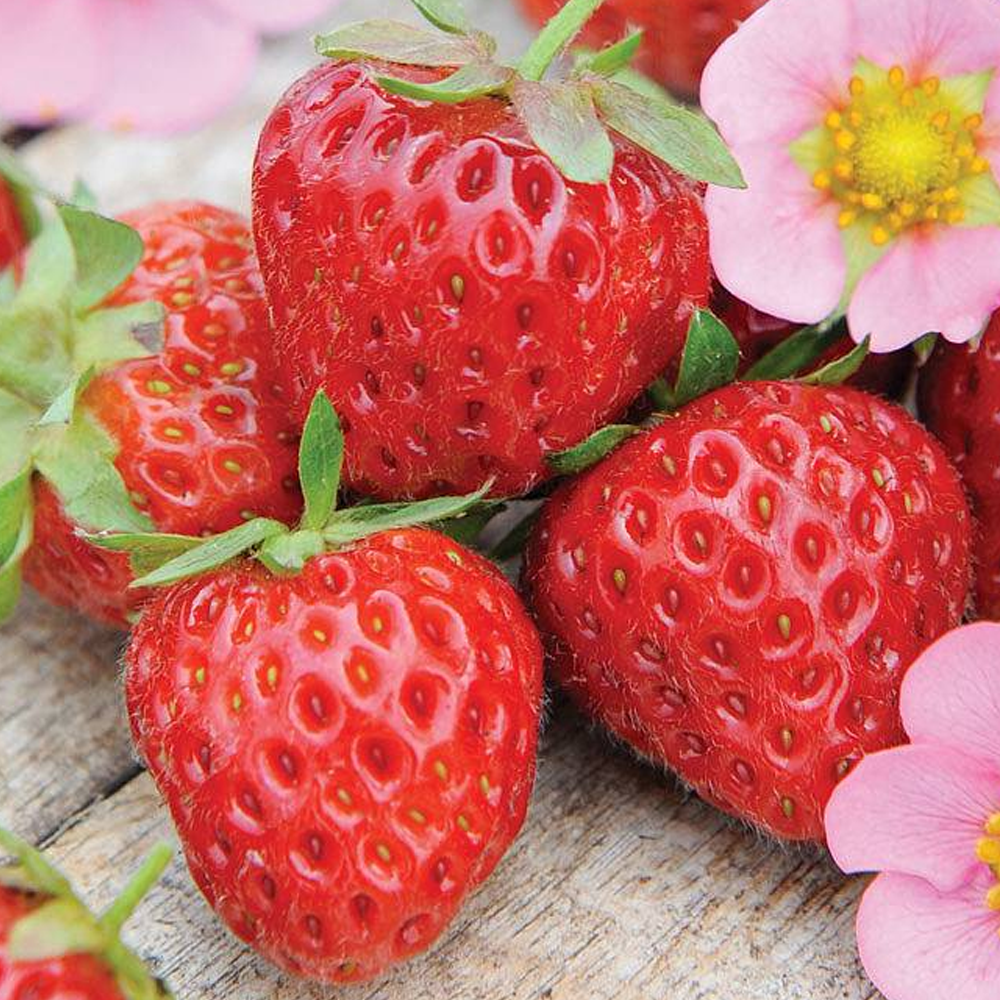 Strawberry 'Marshmello' Fast Growing Bare Root Garden Fruit Plant