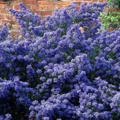 Ceanothus Puget Blue - Long Flowering Evergreen Shrub