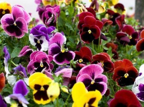 FLOWER - PANSY SWISS GIANT MIXED - 1200 SEEDS - Viola wittrockiana