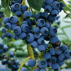 Blueberry Ozarkblue large fruit heavy cropping late season variety 9cm