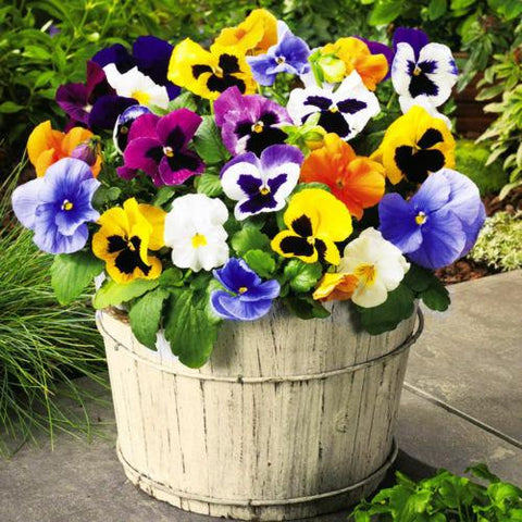 Image of FLOWER - PANSY SWISS GIANT MIXED - 1200 SEEDS - Viola wittrockiana