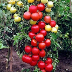 VEGETABLE 300 SEEDS - TOMATO MONEYMAKER - TOMATO SEEDS - Solanum lycopersicum