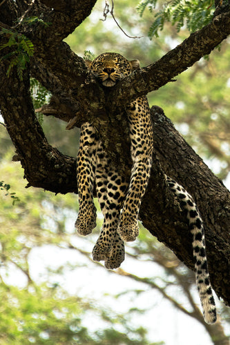 Chilling Leopard - COLOUR