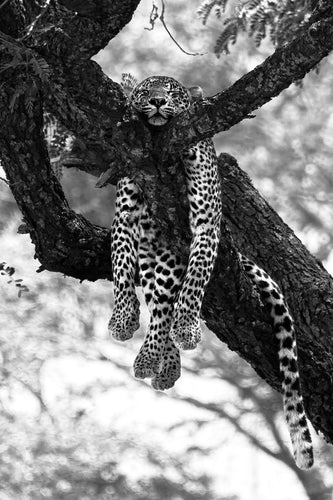 Copy of Chilling Leopard - Black & White