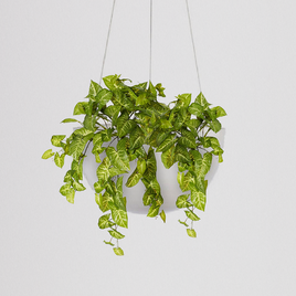 Syngonium Bush Hanging Bowl