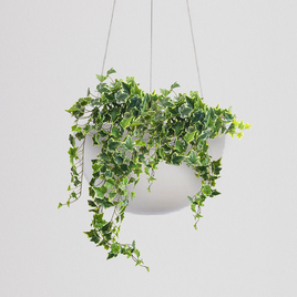 Variegated Ivy Hanging Bowl